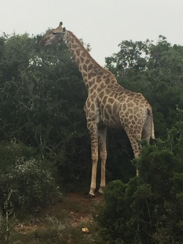 One Of Schotia's Giraffes