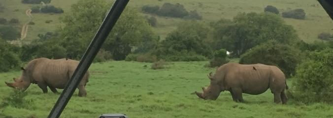 Schotia's Rhinoceroses