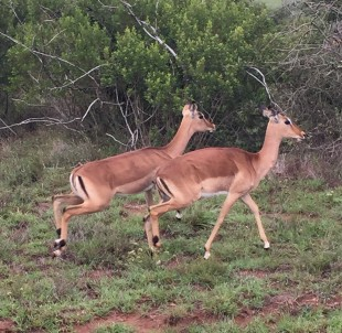 Some Of Schotia's Impala - The Antelope Were One Of The Best Things About the Reserve
