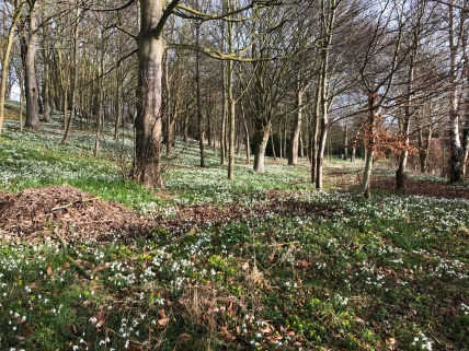 Acres Of Snowdrops in Hemingstone