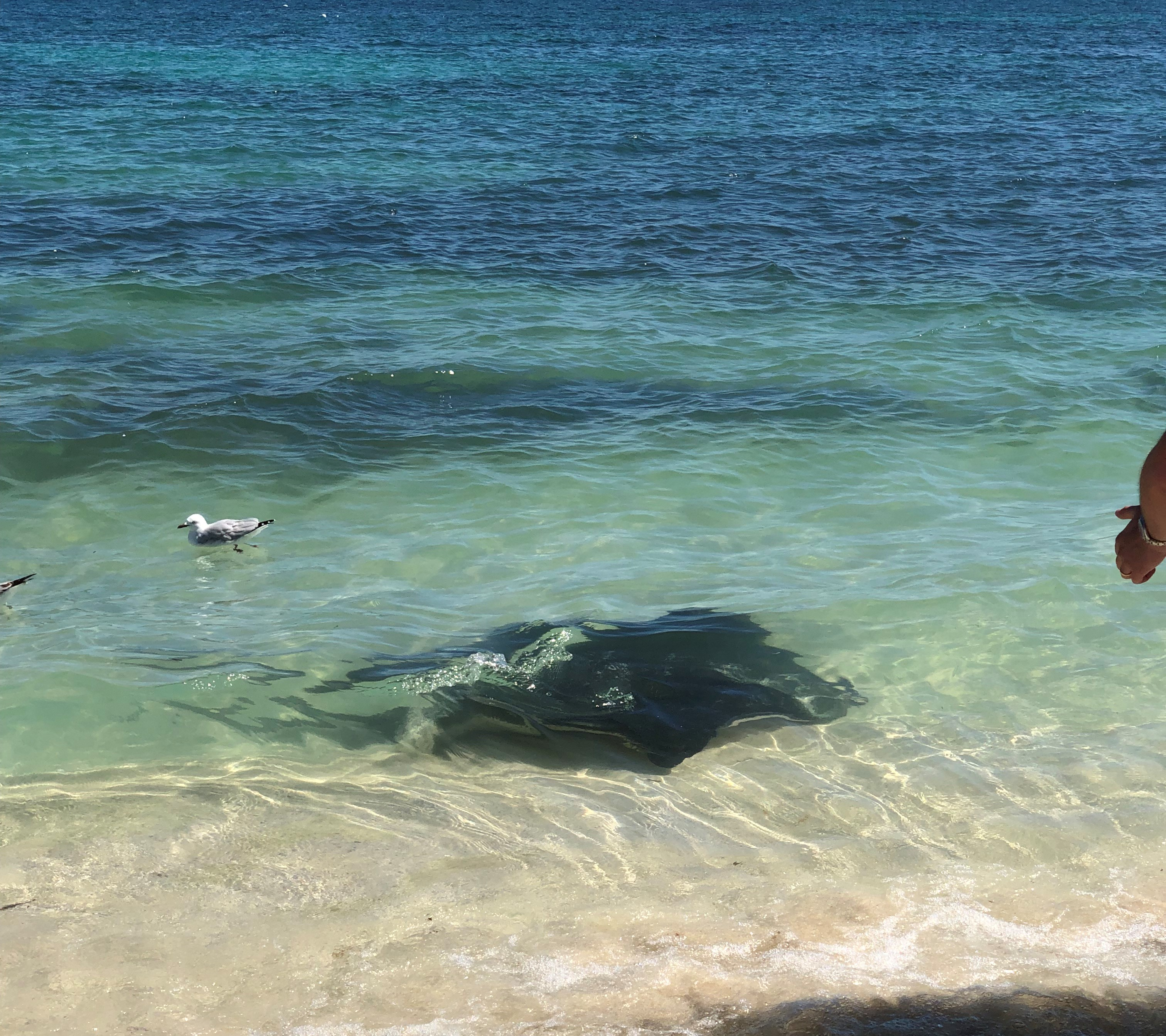 One Of Many Sting Rays In The Shallows Of Hamblin Bay