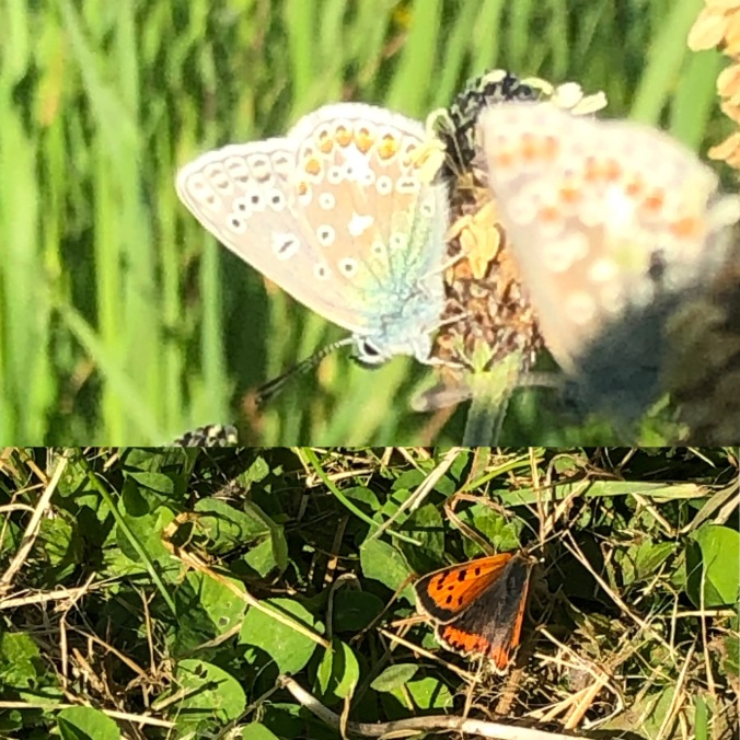 Common Blue And Little Copper Butterflies