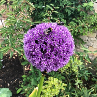 Allium And Bees In The Garden