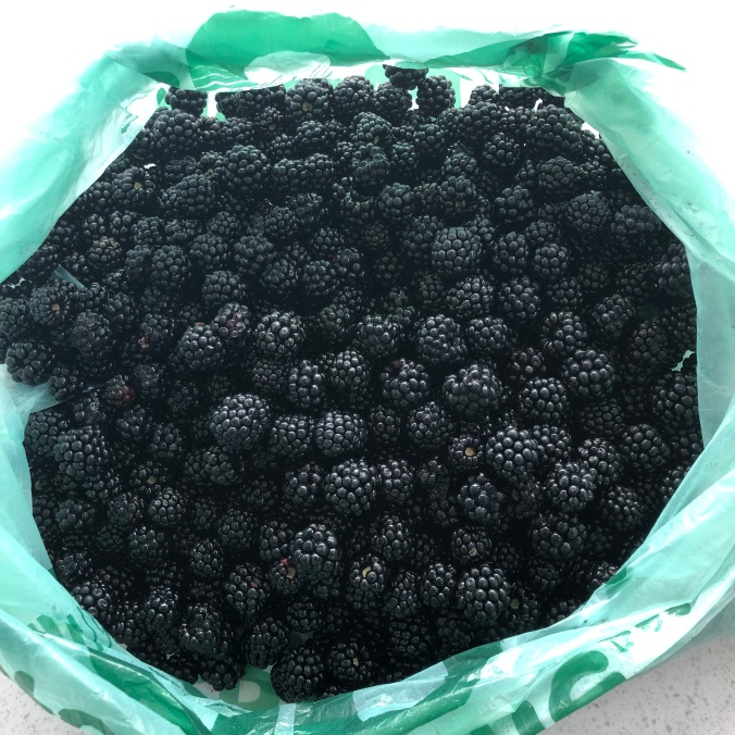 Masses Of Wild Blackberries Picked In Less Than 30 Minutes
