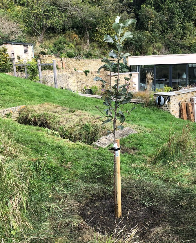 Our Newly Planted Whitebeam