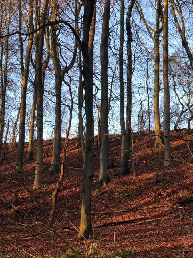 Local Beech Woods