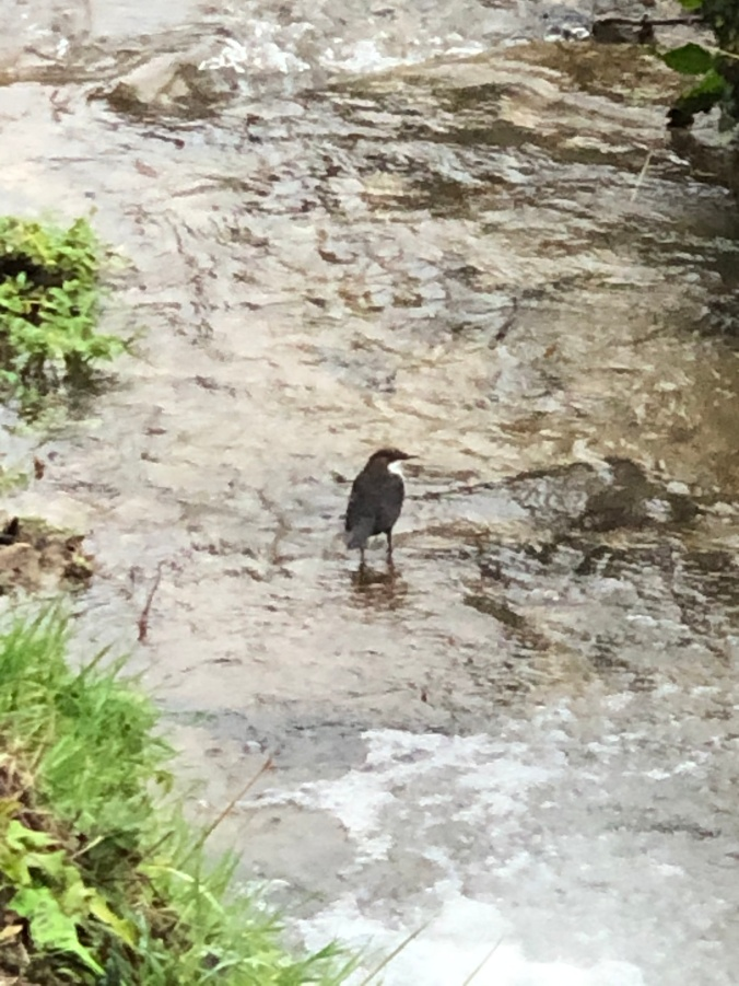 Dipper Spotted In A Local Stream