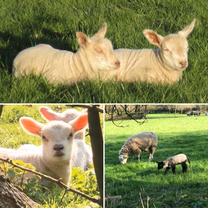 Spring Lambs.  Watching Them Gambol In The Field Opposite Our House Is A Rare Privilege
