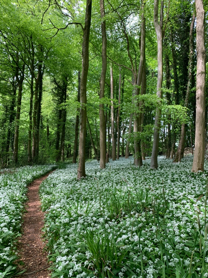 Carpets Of Wild Garlic Amid Beech Trees