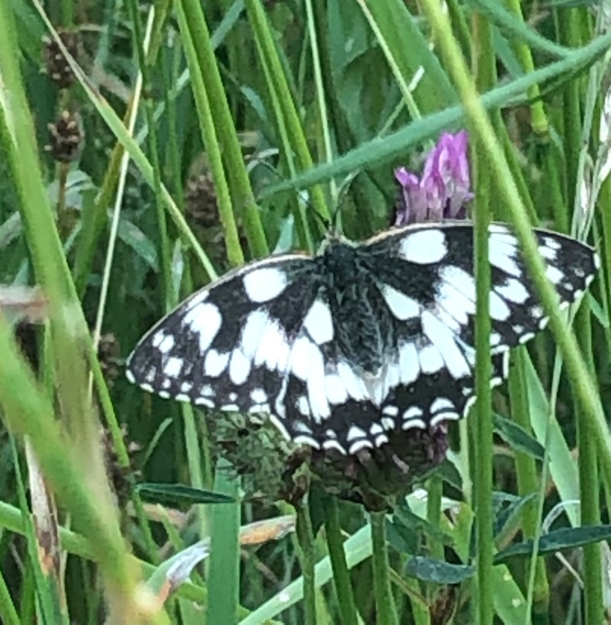 Marbled White Butterfly - Stationary Just Long Enough For A Photo