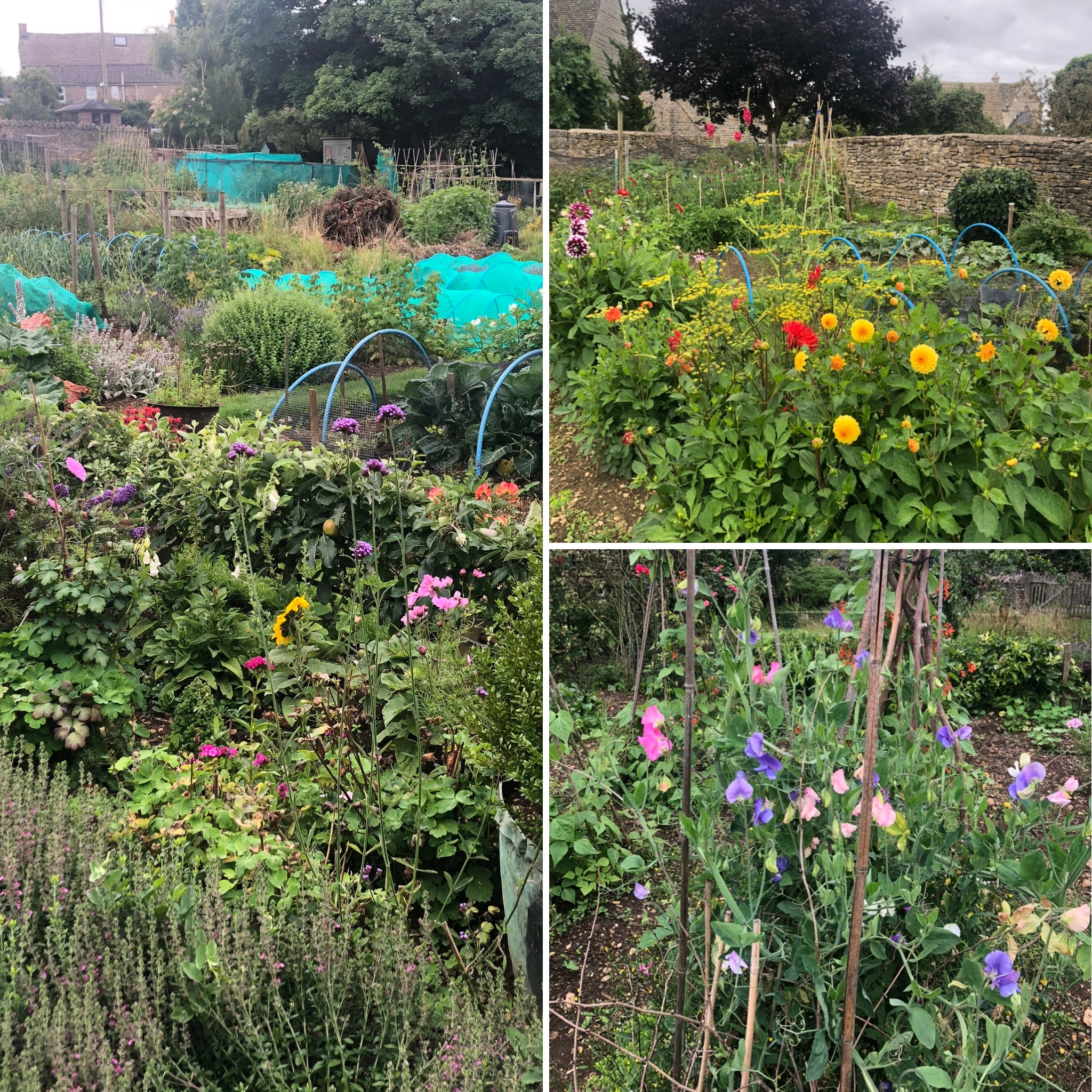 Flowers Among The Veg On The Allotments