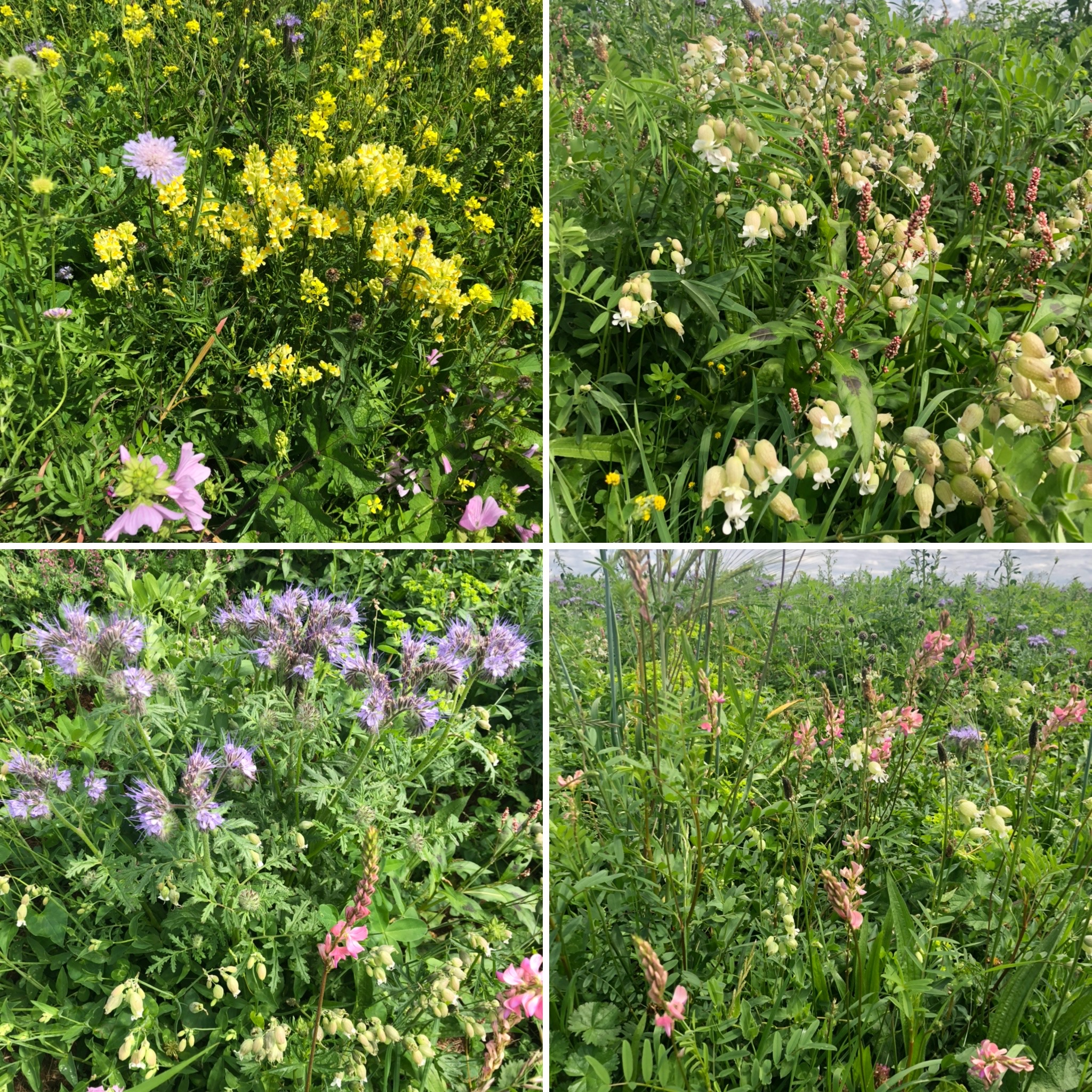 Flowers In The Strip of Green Manure - Antirhinums, Phacelia, Sainfoin And Many More