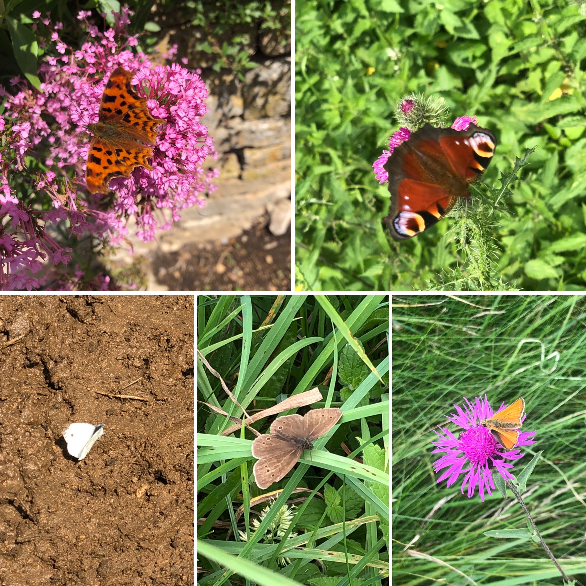 Butterflies Everywhere: Comma, Peacock, Small White, Ringlet And Skipper